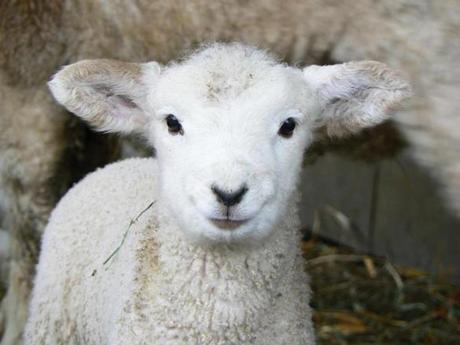 for West - 21weaudubo - Lamb at Drumlin Farm, Lincoln. (Mass Audubon)