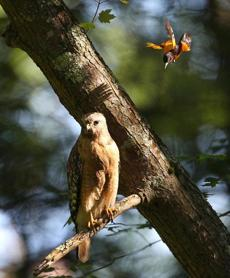 A hawk sat on a branch above a pond in Pembroke as an oriole swooped down to chase it away. June 19, 2012.