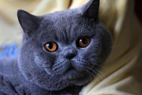 Last season, Levi placed eighth overall, across all breeds and around the world, a rare feat for a cat from New England.