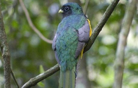 The black-throated trogon is one of the Misiones jungle'€™s shyest birds.