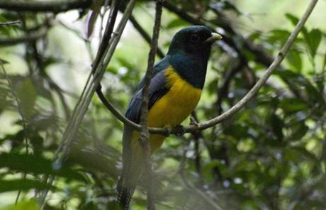 This black-throated trogon was summoned from the forest's densest recesses by Fidel Ramirez.