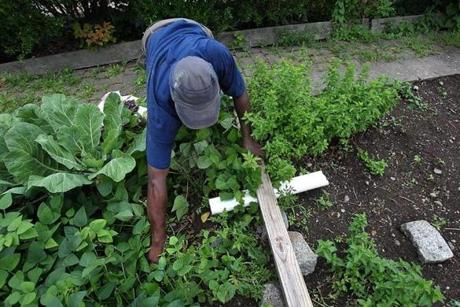 John Oliver, 59, harvests his peas and collard greens at the Coleman Street garden in August.