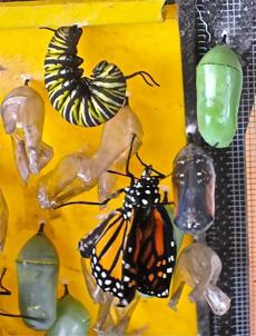 Chris Randall (inset at left) has a monarch butterfly display that illustrates stages of its metamorphosis.