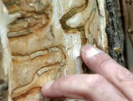 A forester pointed out the telltale signs of emerald ash borer beetle larvae on a tree in New York.