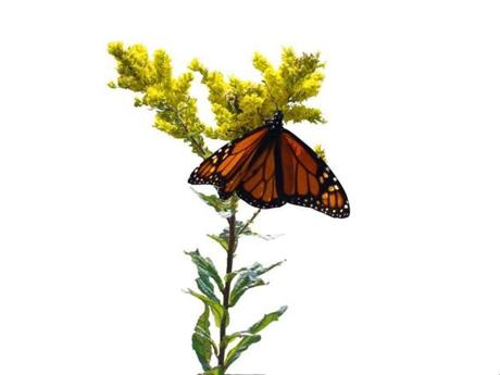 Amid Greylock's wildflowers, this goldenrod attracts a monarch.