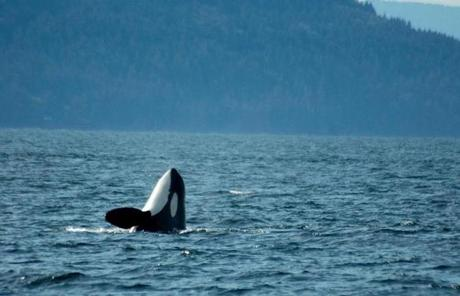 Orca on watch in the cold Pacific Northwest waters.