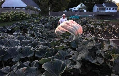 Topsfield, MA 9/21/12 Woody Lancaster walks out to his giant pumpkin - it weighs over 1600 pounds, and he will enter it in the Topsfield fair's giant pumpkin contest. There is a $10,000 reward for the grower who brings in the first pumpkin to weigh 2,000 pounds, something not even dreamed of a decade ago, but a real possibility these days.