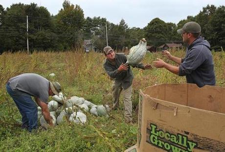 Sharon, Ma., 10/02/12, Left to right, Jim Ward, Brian Rosado, Steven Chiarizio, all cq, harvest hubbard squashes at Ward's Berry Farm. Magazine story on field to table, via food pantry. Section: Magazine Suzanne Kreiter/Globe staff