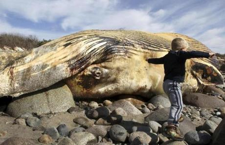 A finback whale was beached in Rockport on Monday. The town will let the animal decompose rather than bury or remove it.