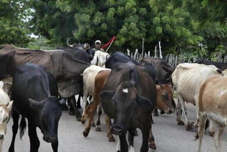 Traffic waits for a farmer herding his cows on the road through Oviedo in Pedernales province.
