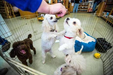 Toy poodles vied for treats during the meet and greet.