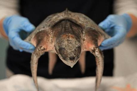An endangered Kemp's Ridley turtle received attention at the New England Aquarium Animal Care Center in Quincy after washing up on shore in Cape Cod Bay.