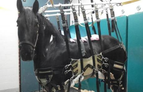 Jack spent 12 days immobilized in a harness attached to the ceiling at Tufts Animal Hospital in Grafton in August.