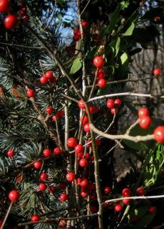 Winterberries provide bursts of color.