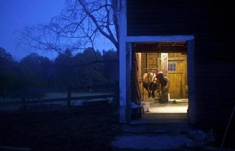 At The Farm School in Athol, student farmer Sarah Habeck of Middletown, N.J., fed hay to Patience, a Jersey cow, during a morning milking in October.