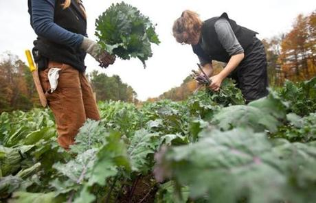 Tess Morningstar (left), of Hopkinton and Eliza Homes of Orange harvested kale for CSA customers at The Farm School in Athol in October.