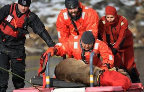 The deer was transported by sled to safety..