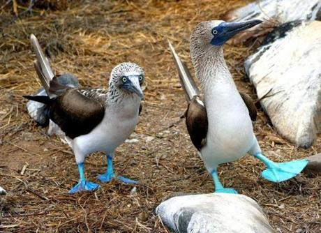 In the Galápagos, blue-footed boobies dance in their courtship ritual.