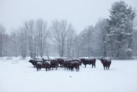 1/16/13 Athol, MA -- Advance for Living. The Farm School's beef heard gather around a bail of hay during a snow storm January 16, 2013. Erik Jacobs for the Boston Globe