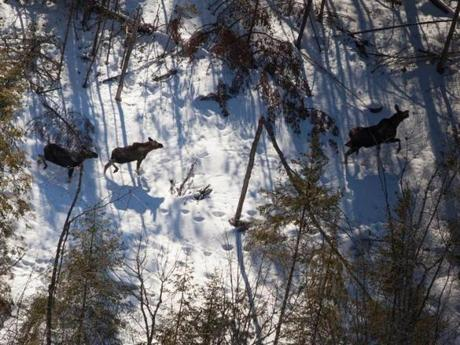 Three moose, spotted from a helicopter, are among the 76,000 counted thus far in Maine's first aerial census.