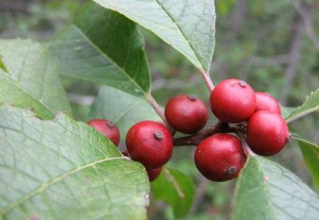 The winterberry was among the species rediscovered in Middlesex Fells Reservation.