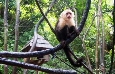 Visitors to Gumbalimba Park on Roatan, Honduras, can get an up-close look at the park's white-faced capuchin monkeys.