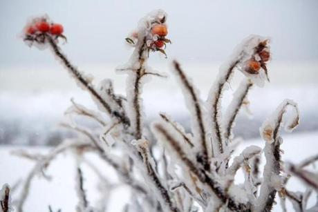 Frozen plants were along the Plum Island Turnpike in Newburyport.