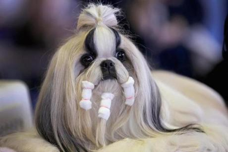 A Shih Tzu prepares to compete in the show.