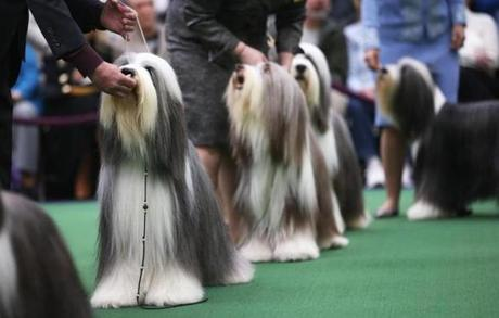 Bearded collies compete in the contest.