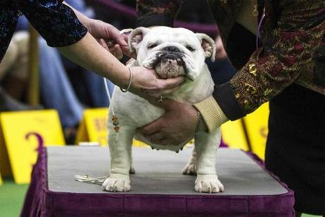 A judge and handler feel the musculature of an English Bulldog during the 137th Westminster Kennel Club Dog Show in New York, February 11, 2013. More than 2,700 prized dogs will be on display at the annual canine competition. Two new breeds, the Russell terrier and the Treeing Walker coonhound, will be introduced in the contest. REUTERS/Lucas Jackson (UNITED STATES - Tags: ANIMALS SOCIETY)