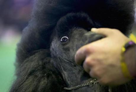 A standard poodle prepares to compete in the show.