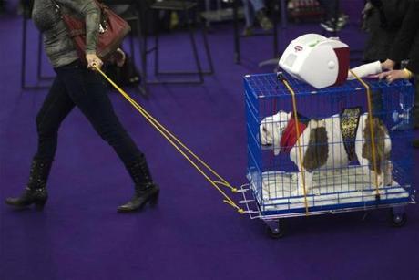 A woman pulls a cart with an English Bulldog on it towards the judging area.
