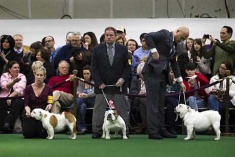 Handlers stand in the ring with English Bulldogs.