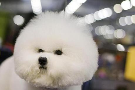 A Bichon Frise stands in the grooming area during the 137th Westminster Kennel Club Dog Show in New York Monday.