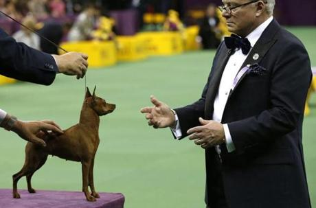 A Miniature Pinscher is judged.