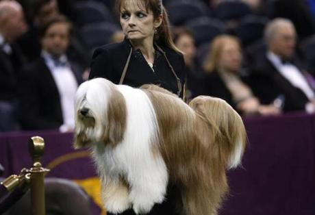A Tibetan Terrier is carried by a handler to be judged during competition in the Non-Sporting Group at the 137th Westminster Kennel Club Dog Show at Madison Square Garden in New York, February 11, 2013. REUTERS/Mike Segar (UNITED STATES - Tags: ANIMALS SOCIETY)