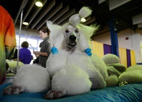 Owen, a standard Poodle, is groomed before the judging.