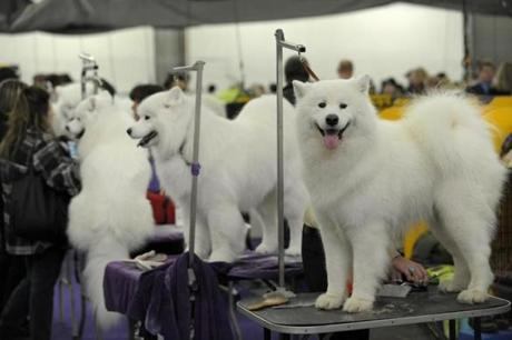 A row of Samoyeds are groomed at the show.