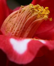 The yellow stamen of a Camellia at the Lyman Estate Greenhouses, owned and operated by Historic New England.