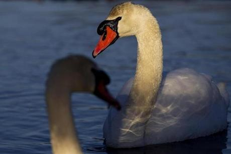 Two swans swam on Whitman's Pond in Weymouth.