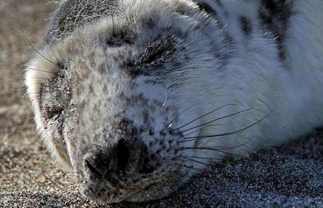 New England Aquarium staff rescued a grey seal pup on Hull Beach.