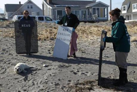 New England Aquarium staff arrived to rescue a gray pup seal on Hull Beach by D Street.