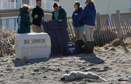 Many people were crowded close to the seal, giving the animal so much attention it needed to be relocated for safety reasons.