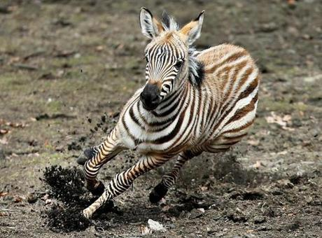 A baby  zebra named Nemo, born on Feb. 9 at the Franklin Park Zoo during the blizzard named Nemo, appeared outdoors for the first time on March 5.