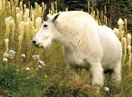 A mountain goat along the main road that runs through Glacier National Park near Kalispell, Montana.