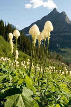 A view of beargrass off Going-to-the-Sun Road.