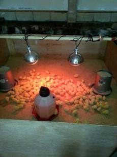 Keith Kopley's chicks vanished from a pen in his garage just a day after they arrived from a Pennsylvania hatchery.