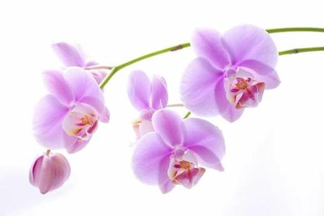 Pink phalaenopsis orchids.