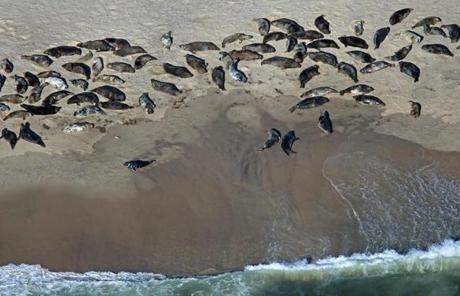 Seals on the Monomoy Island beach enjoyed a day in the sun.