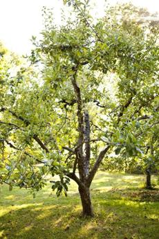 Fruit trees owned by Frank Bissett in Northborough
